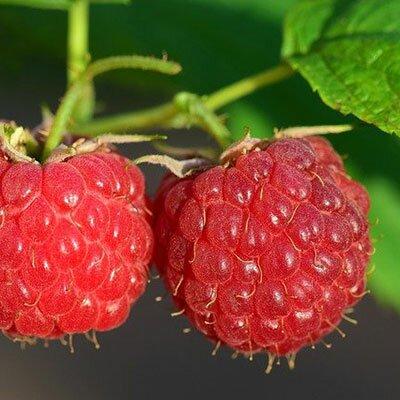 Dünger für Beeren und Obst